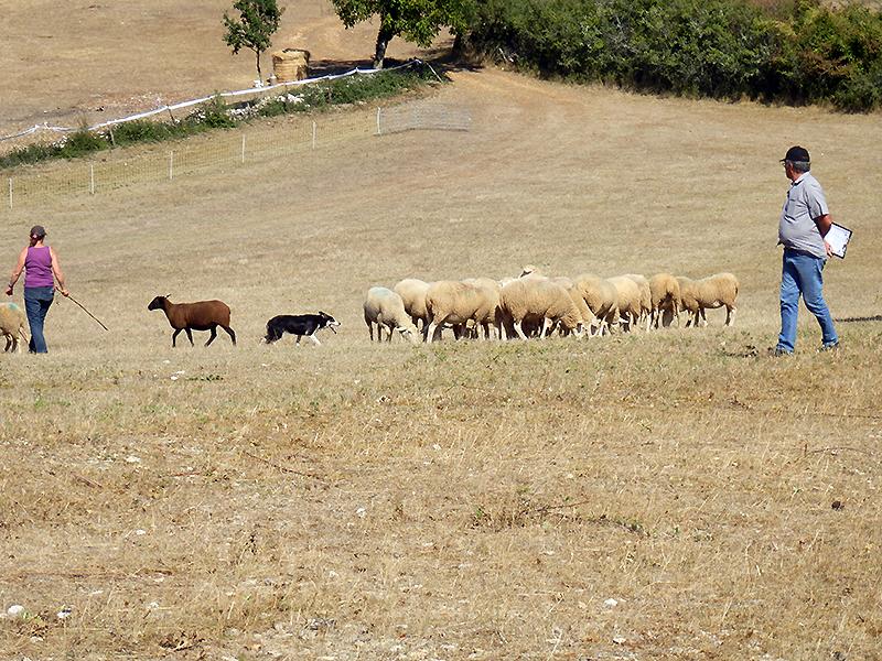 Cremps un magnifique championnat de chiens de troupeau - Chambre d agriculture 22 ...